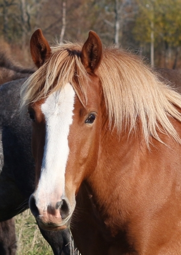 native horse for sale